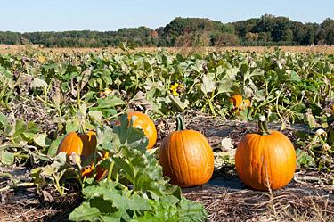 img264-pyo-pumpkins